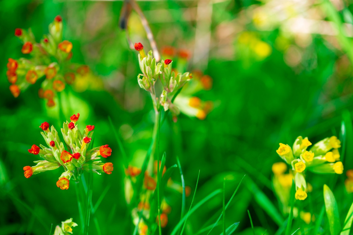 Red & yellow Cowslip (swe: Gullviva)