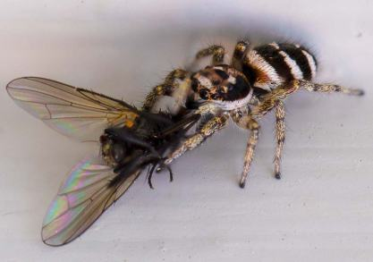 hoppspindeläterfluga2