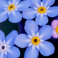 Small blue springflowers
