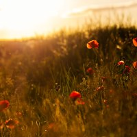 Poppy Sunset